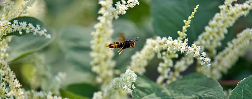 Guêpes, abeilles et autres hyménoptères